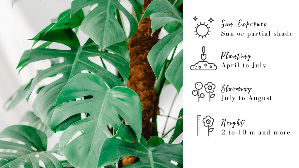 Monstera : plants for your deck
