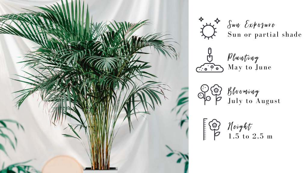 Potted Areca Palm : plants for your deck