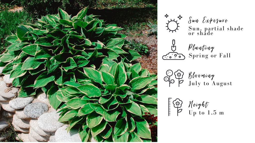 Hostas : plants for your deck