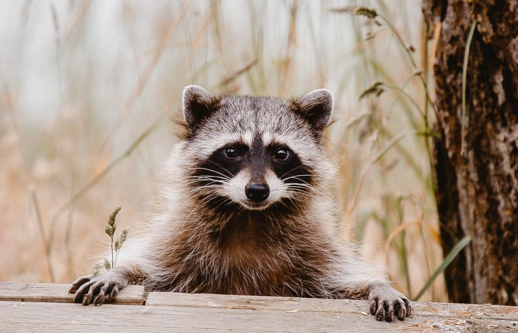 You can see a raccoon.
