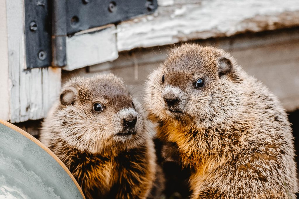You can see two groundhogs near a shed.